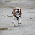 Is beagle rue Herman in volle vaart op weg naar BSBE 2017?